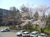 Sakura411