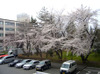 Sakura413