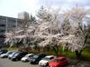 Sakura415