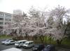 Sakura416_1