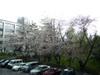 Sakura421a